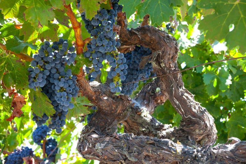 Rijpe Znfandel druivenclusters op knoestige wijnstok stock foto's