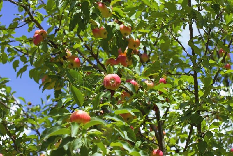 Rijpend appelen op een boom dicht omhoog, zonnige dag Foto van rijpe a royalty-vrije stock fotografie