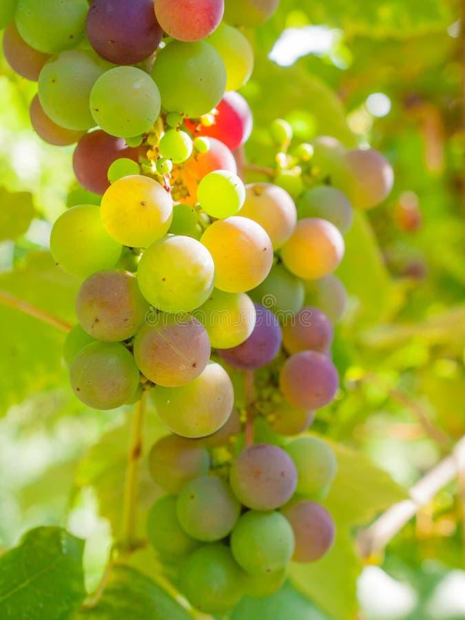 Rijpende druiven op de wijnstok stock afbeelding