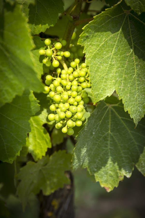 Rijpende druiven op de wijnstok stock foto