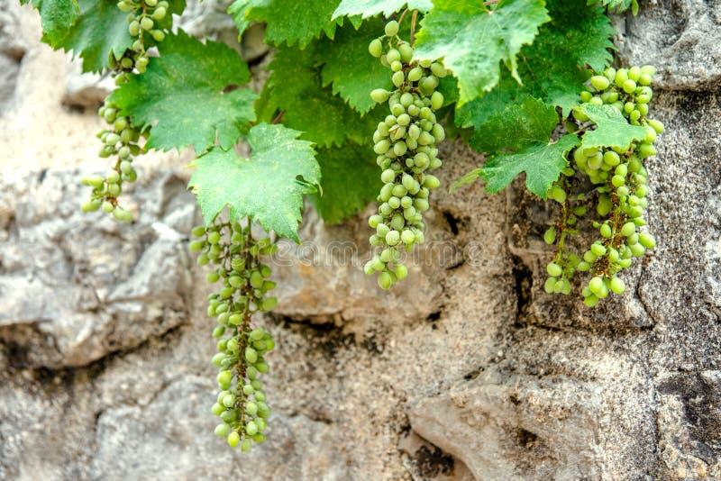 Rijpende groene druiven stock afbeelding