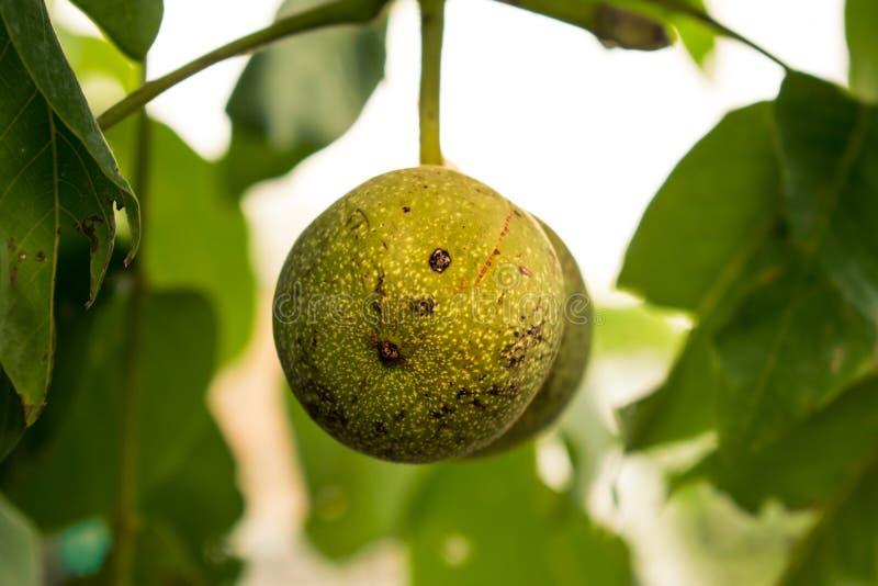 Rijpende okkernoot Groen boomfruit in de vorm van een bal augustus stock foto