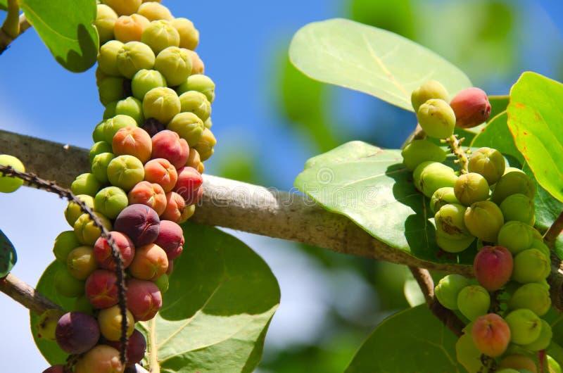 Rijpende overzeese druiven stock fotografie