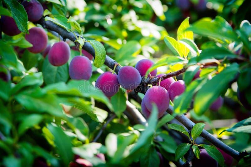 Rijpende pruimen op een boom in de zomerclose-up Donkerblauwe pruimen royalty-vrije stock afbeeldingen