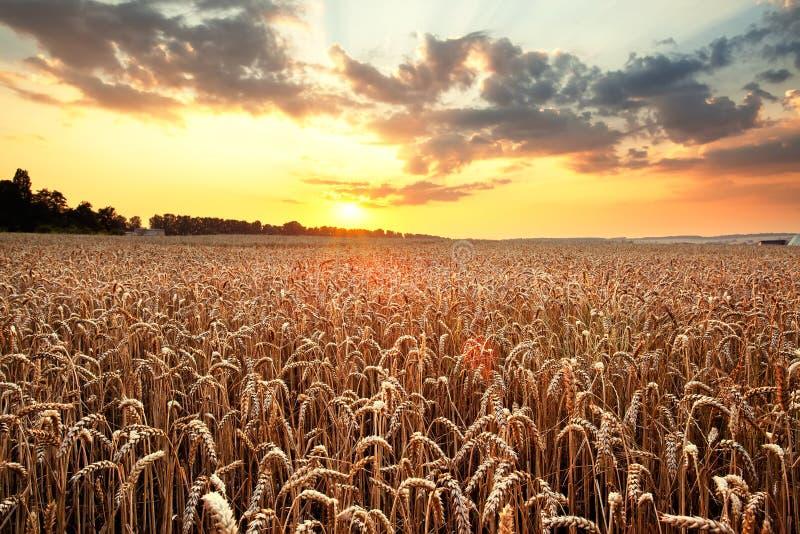 Rijpende tarwe en zonsopganghemel royalty-vrije stock afbeelding
