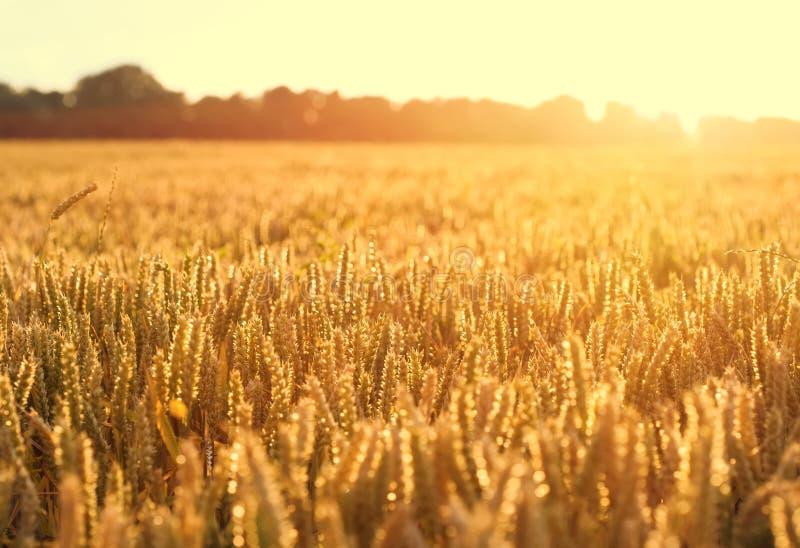 Rijpende tarwe en zonsopganghemel stock foto