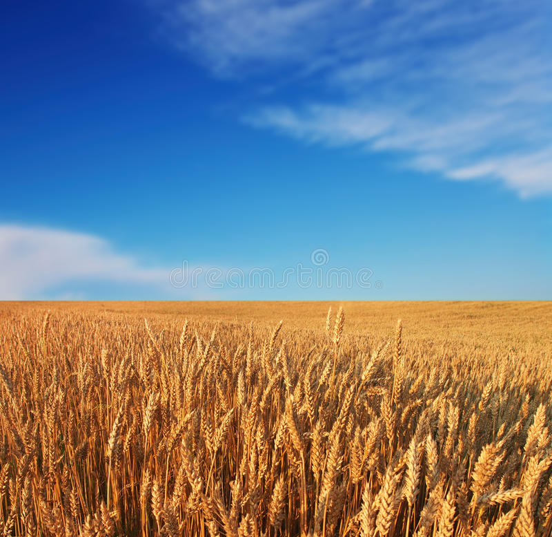 Rijpende tarwe en zonsopganghemel royalty-vrije stock foto's