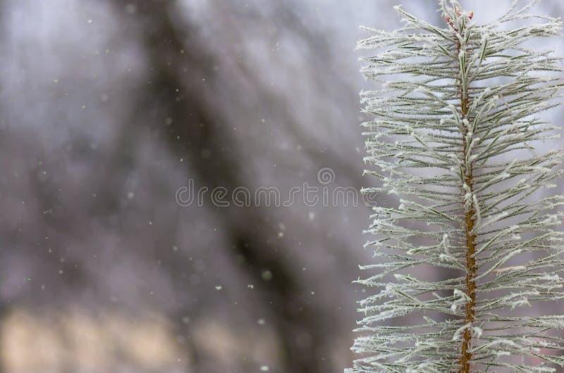 Rijpsneeuw op pijnboom, sparren royalty-vrije stock afbeeldingen