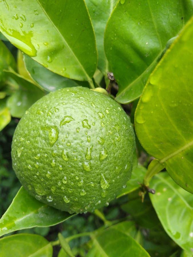 Rijsinaasappel in de boom met waterdalingen royalty-vrije stock afbeeldingen