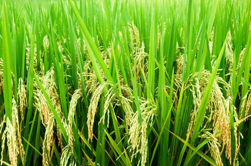 Rijst 04 stock afbeeldingen