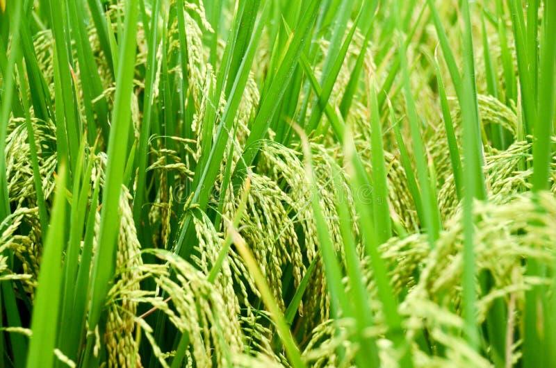 Rijst 02 stock afbeelding