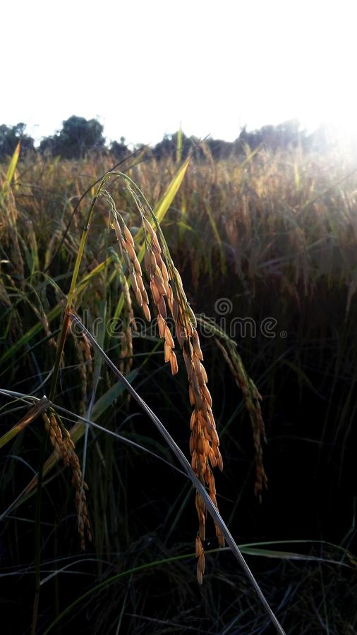Rijst royalty-vrije stock afbeelding