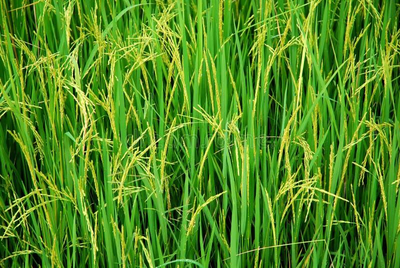 Rijst royalty-vrije stock foto