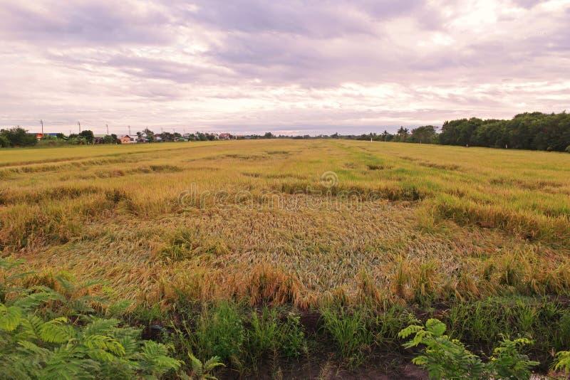 Rijst bij de instorting van de oogstperiode van winderig stock foto