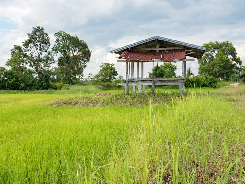 Rijst de landbouwseizoen in Thailand stock afbeeldingen