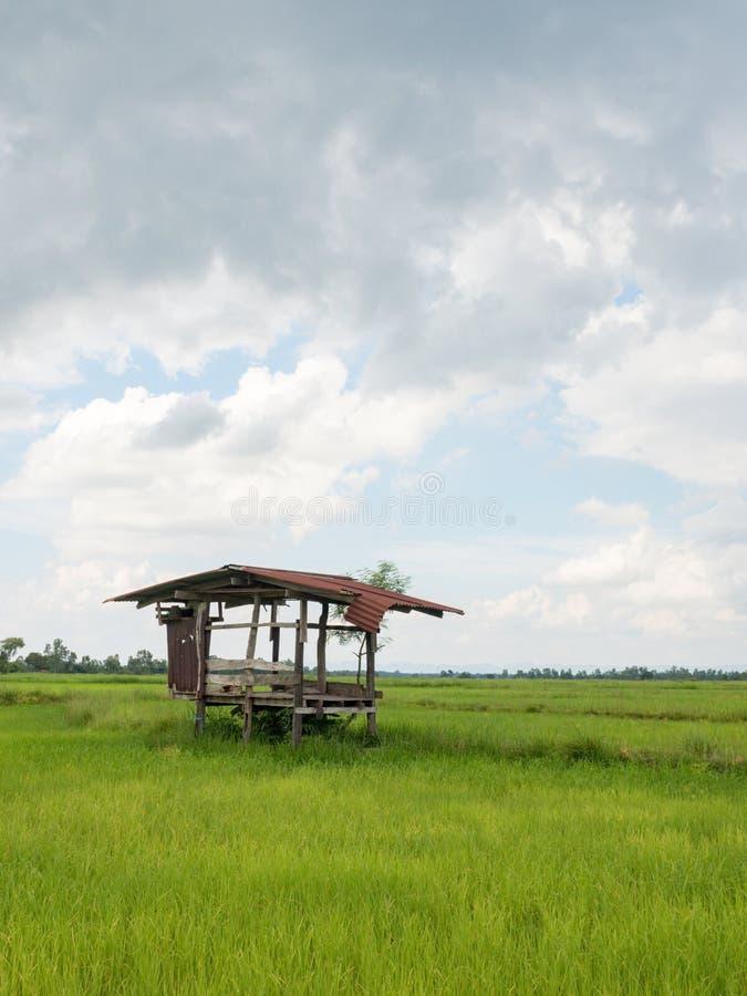 Rijst de landbouwseizoen in Thailand royalty-vrije stock foto