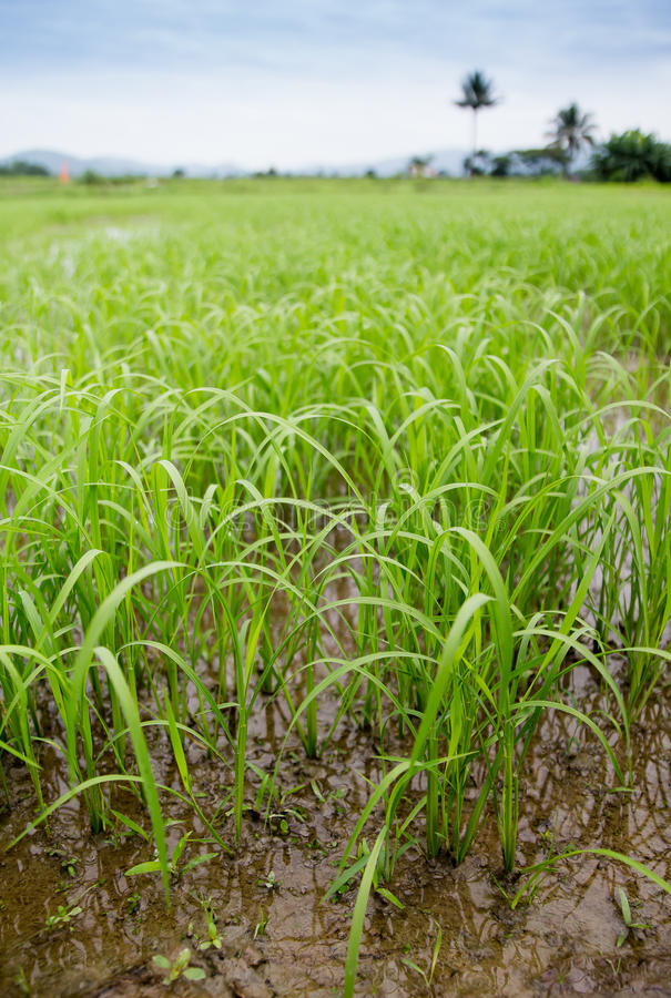 Rijst in de mooie ochtend, royalty-vrije stock afbeeldingen
