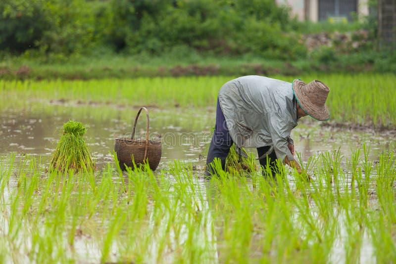 Rijst die planten: landbouwer die aan padiegebied werken stock afbeeldingen