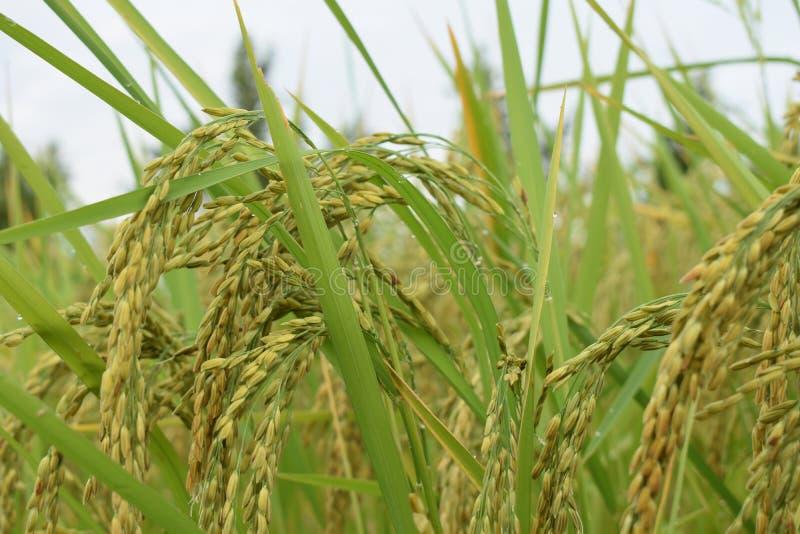 Rijst in Kambodja stock afbeeldingen