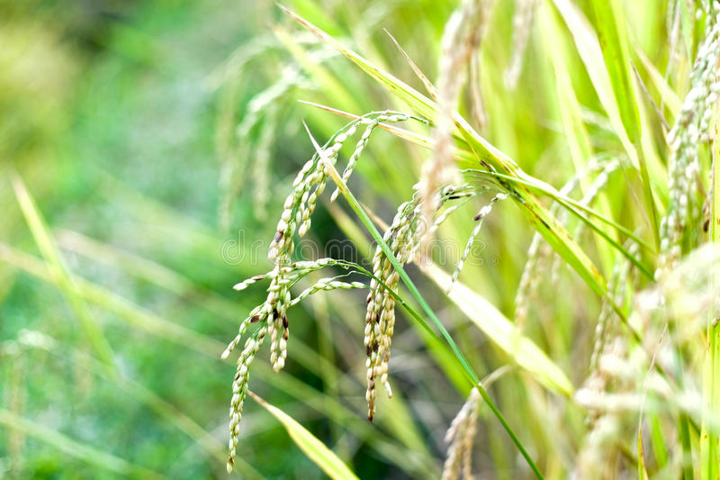 Rijst rady aan oogst stock foto