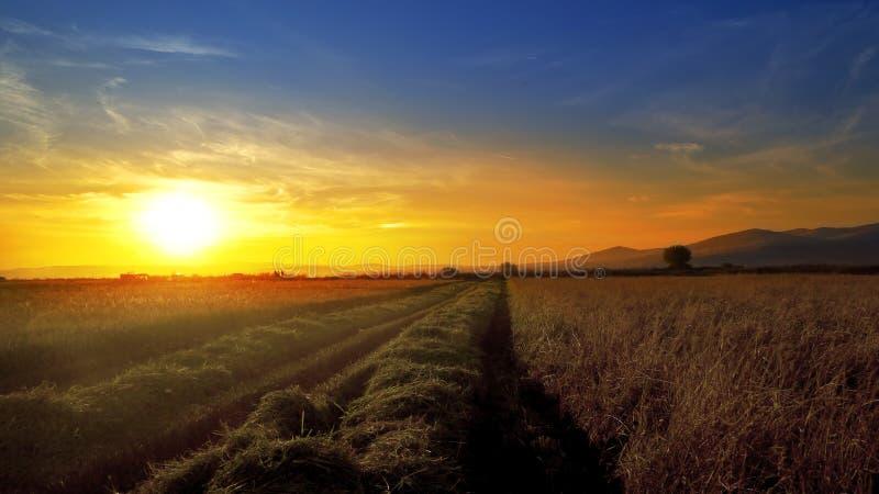 Rijst, tarwegebied tegen zonsondergang tijdens oogst royalty-vrije stock foto's