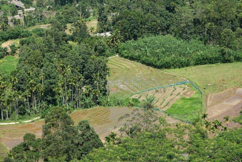 Rijstaanplanting in Sri Lanka stock fotografie