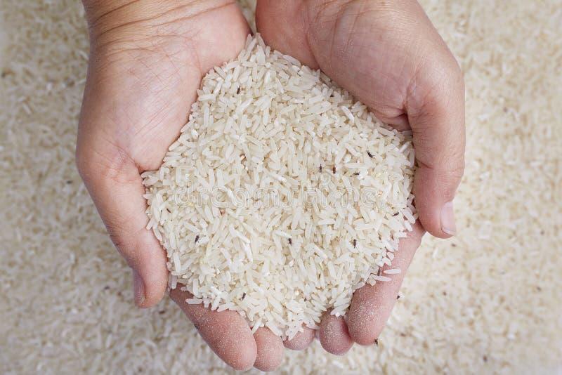 Rijstgraanklander in handen stock foto
