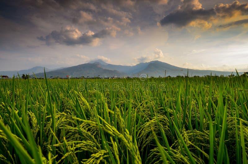 Rijstinstallaties en de bergschemer stock foto's