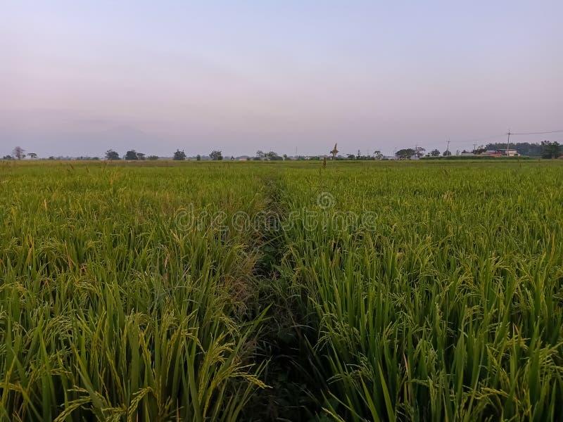 rijstinstallaties op de gebieden royalty-vrije stock fotografie