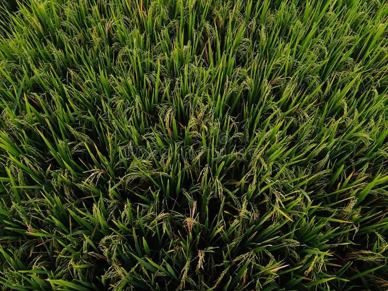 rijstinstallaties op de gebieden stock fotografie