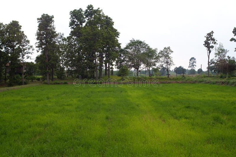 Rijstlandbouwbedrijf in landelijk van Thailand stock afbeeldingen