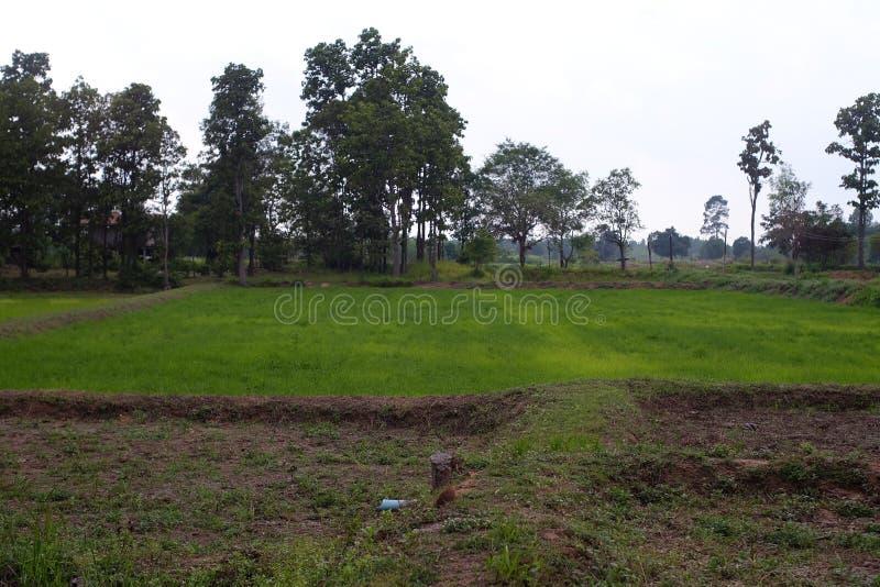 Rijstlandbouwbedrijf in landelijk van Thailand stock afbeelding
