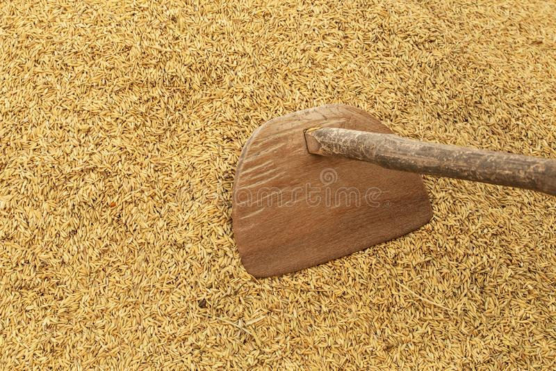 Rijstlandbouwbedrijf: Oude landbouwhulpmiddelen op padieachtergrond Farme stock afbeeldingen