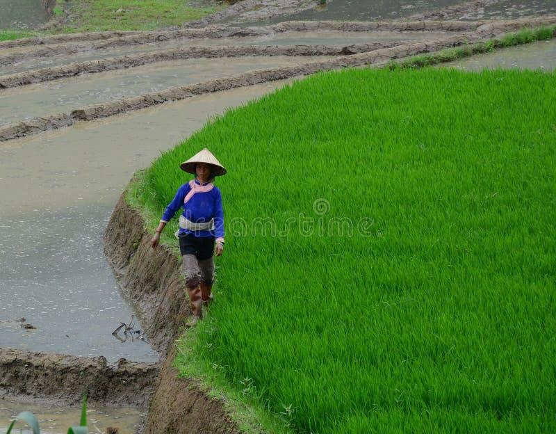 Rijstlandbouwers die aan de gebieden van het rijstterras in Sapa, Vietnam werken stock fotografie
