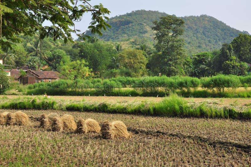 Rijstoogst in landelijk India Padievelden, Indisch platteland royalty-vrije stock afbeeldingen