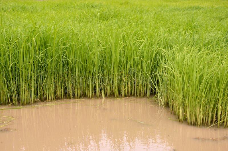 Rijstspruiten in thewater royalty-vrije stock foto's