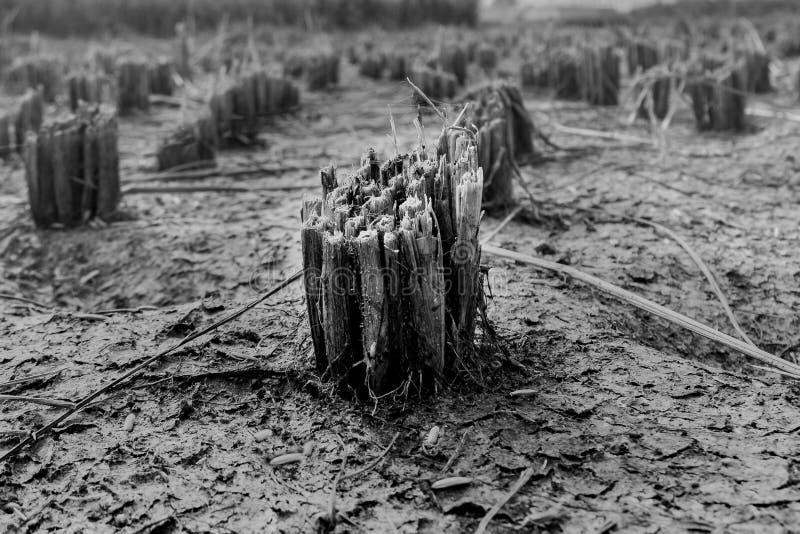 Rijststelen in padie stock fotografie
