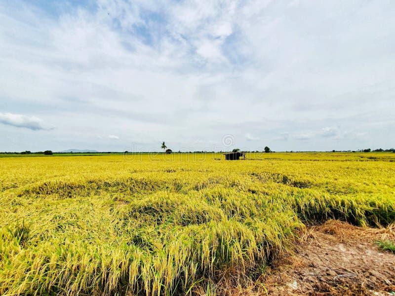 Rijstveld, controlezijde Thailand royalty-vrije stock afbeelding
