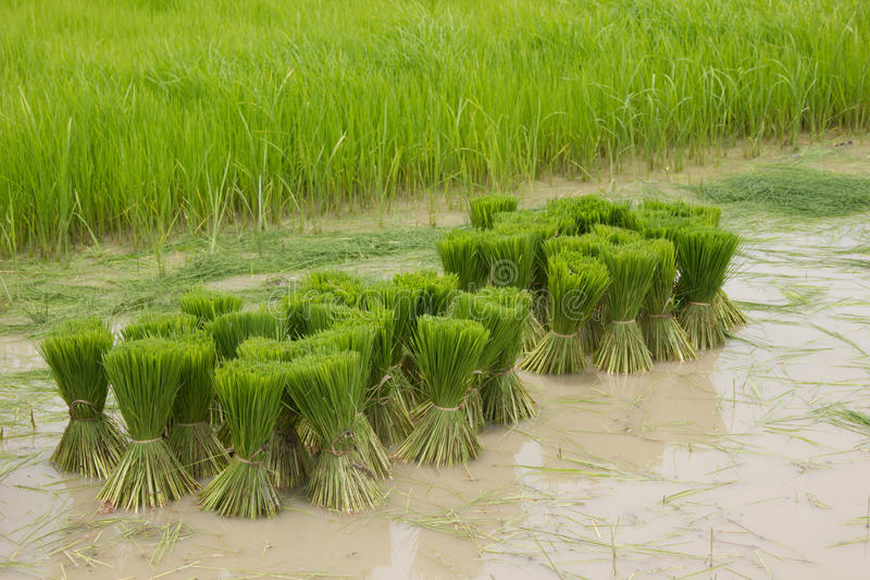 Rijstzaailing op modderig water royalty-vrije stock foto's
