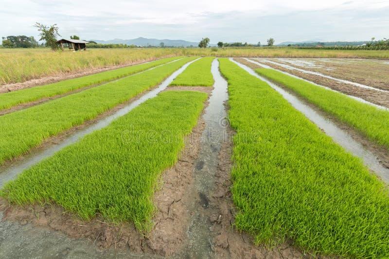 Rijstzaailingen royalty-vrije stock foto