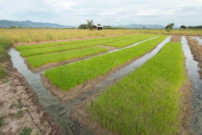Rijstzaailingen royalty-vrije stock afbeeldingen