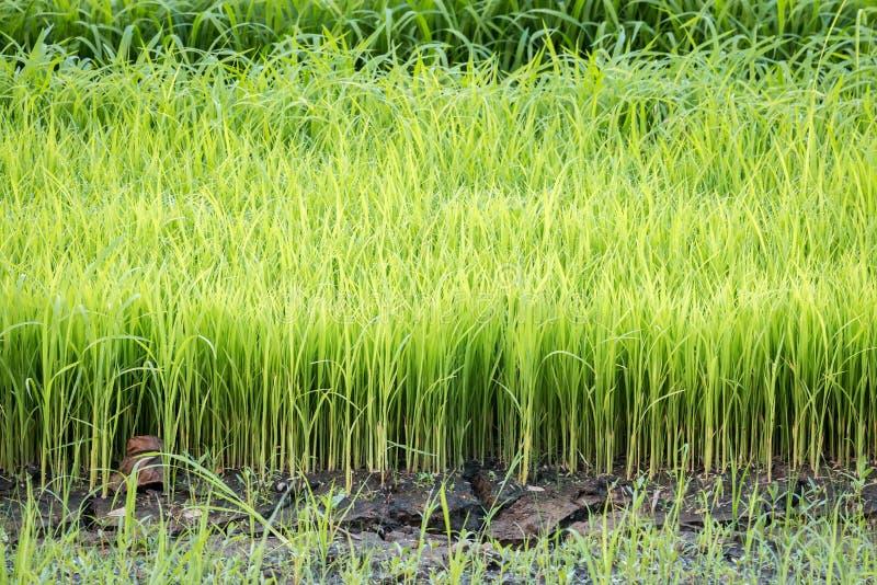 Rijstzaailingen stock fotografie