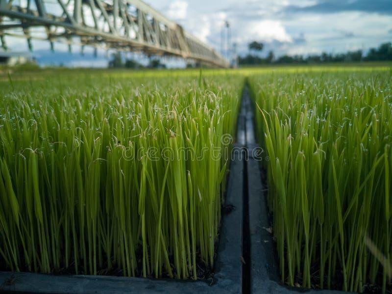 Rijstzaailingen in de landbouwindustrie die systematisch werken royalty-vrije stock fotografie