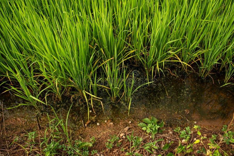 Rijstzaailingen met overvloedig aanwezig stock foto's