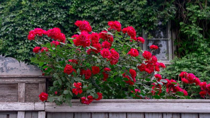 Rika röda rosor över trästaketet framme av det gamla huset som täckas med den lösa druvan royaltyfri foto