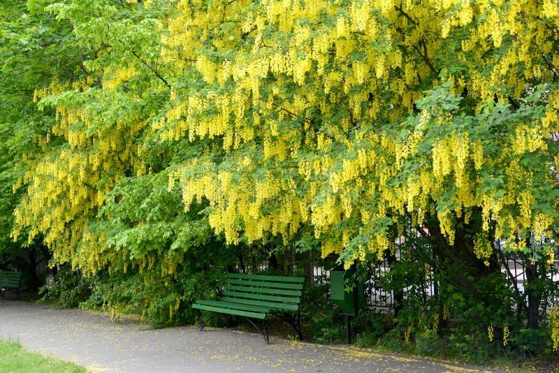 Rikligt blomstra av anagyroides Medik f?r en gullregn f?r b?natr?d royaltyfria foton
