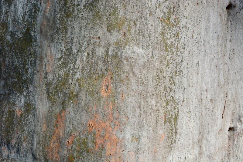 Rikt värme färg och textur av eukalyptusträdbakgrund arkivbilder