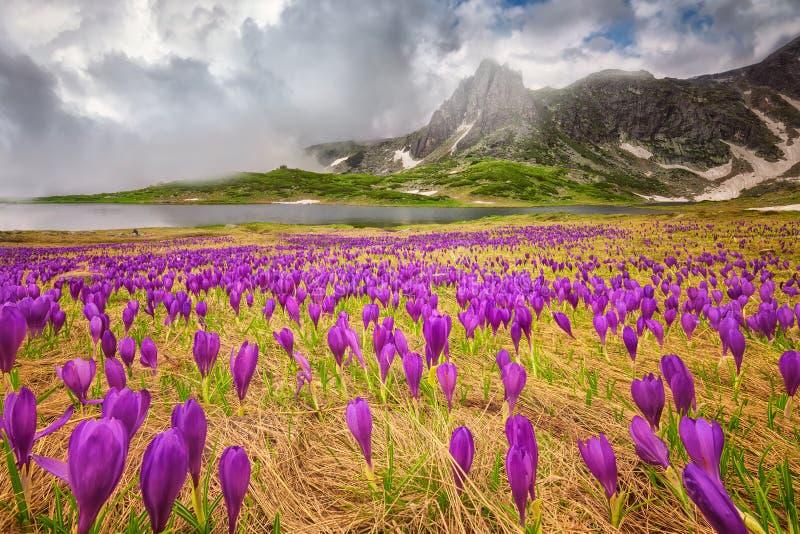 Rila mountains. Field of spring time crocus in the Rila mountains, Bulgaria stock photos