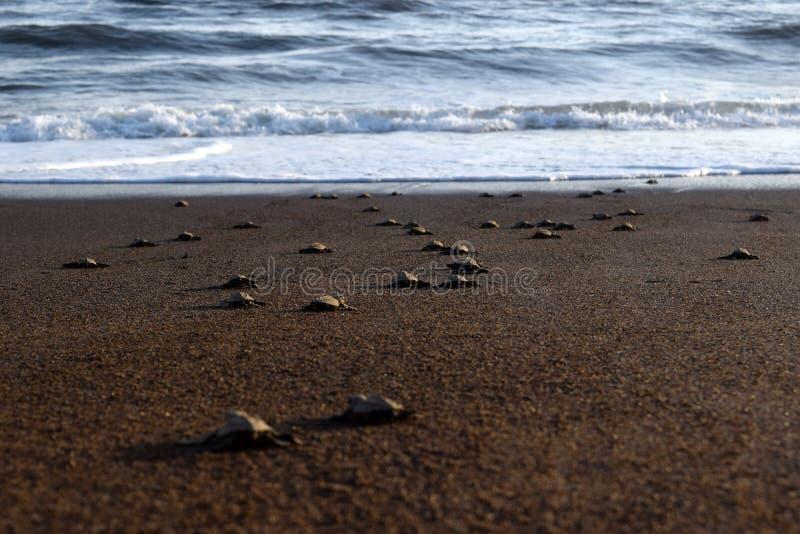 Rilascio della tartaruga immagini stock libere da diritti