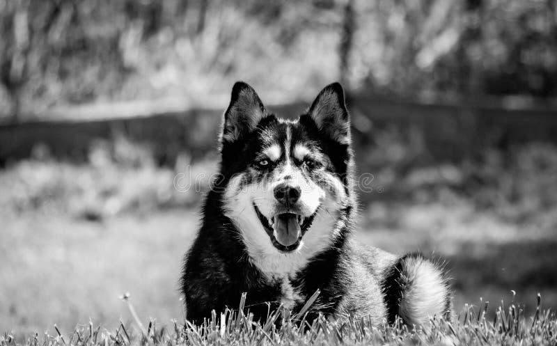 Rilassamento del husky fotografie stock